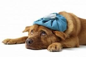 sick doggie